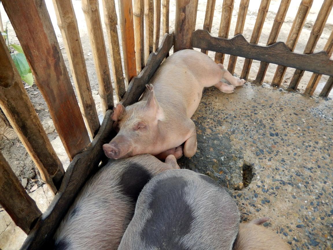 清迈-烹饪班的猪